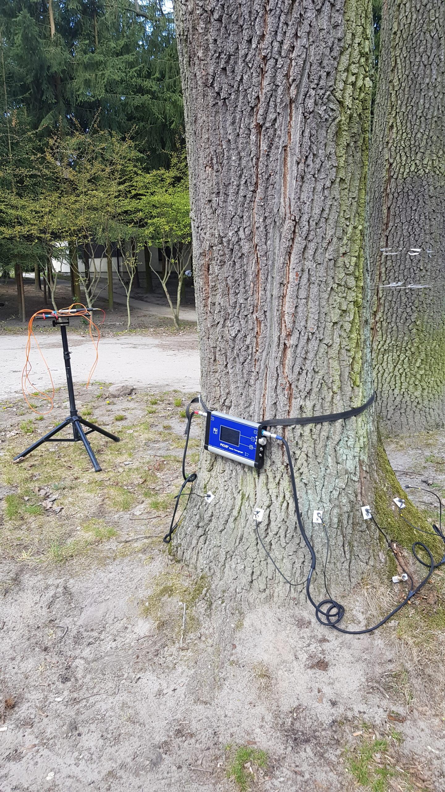 zdjęcie obrazujące sposób przeprowadzania tomografii drzewa