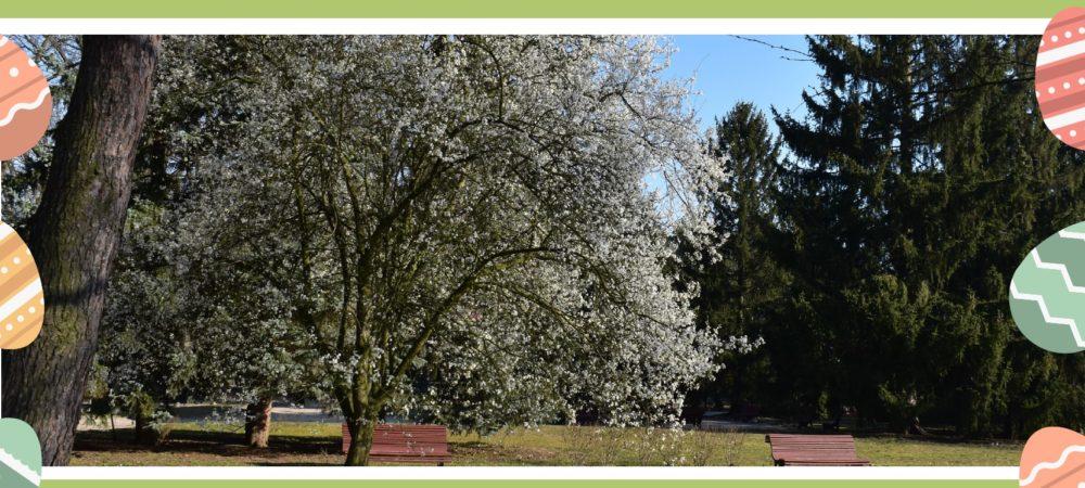 zdjęcie pokazujące alekę parkową z kwitnącym drzewem